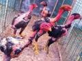 麗水市出售越南斗雞苗品種