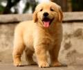 江门金毛犬价格多少讲纯种金毛幼犬价钱