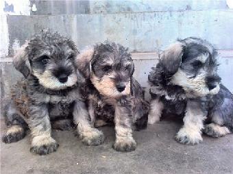 标准型雪纳瑞 李虹梗犬繁殖基地出售顶级雪纳