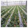 當年草莓苗銷售、山東當年草莓苗種植基地
