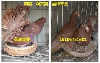 动物 观赏鸽/哪里卖的观赏鸽品种最全...