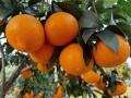 紅美人柑橘成熟期11月 同期比金秋砂糖橘風味濃