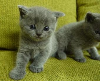 深圳英短蓝猫哪里有出售一只多少钱