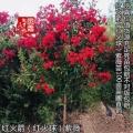 江苏宿迁大红花紫薇工程苗红火箭紫薇种植基地