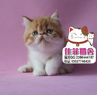 包子脸可爱加菲猫一线鼻乖巧小加菲猫憨厚十足的加菲