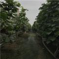 2公分葡萄苗出售价格、2公分葡萄苗多少钱一棵