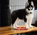 哈士奇幼犬出售 純種哈士奇價格 哈士奇犬舍