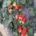 美香莎草莓苗哪里有 美香莎草莓苗直銷