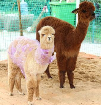 赣州萌宠羊驼展览,动物表演