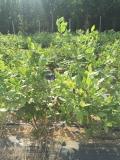 安娜藍莓苗品種介紹基地批發多少錢一株