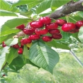 草莓小苗一棵多少钱草莓小苗价格是多少