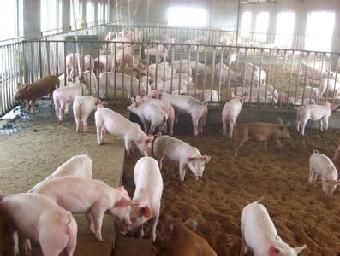 内蒙古哪里有猪厂卖仔猪_志趣网
