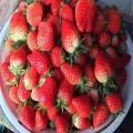 白雪天使草莓苗哪里有 白雪天使草莓苗多少錢一棵