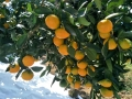 湖南由良蜜桔苗基地 1-3年生早熟由良蜜桔樹苗