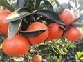 湖南世紀紅柑橘基地 果型鮮亮世紀紅柑桔苗