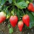 新世紀草莓苗批發、今年新世紀草莓苗批發價格
