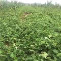 出售批发草莓苗、批发草莓苗多少钱一棵