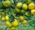 廣西栽種由良柑橘苗比大分一號成熟明顯糖度高化渣強