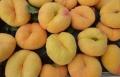 两年生油蟠桃树苗 两年生油蟠桃树树苗新品种