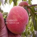韓國友名優質桃樹苗 甜度高 產量極高