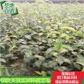 想種植新梨7號樹苗批發種植