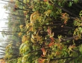 紅油香椿苗3公分批發