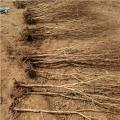 牡丹花石榴樹苗出售、牡丹花石榴樹苗價位及報價