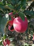 魯麗蘋果苗基地報價、魯麗蘋果苗品種簡介