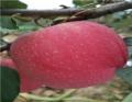 2公分蘋果苗種植技術
