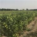 新梨7号梨树苗、新梨7号梨树苗基地