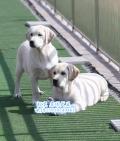 賽級拉布拉多犬 北京市拉布拉多幼犬導盲犬出售