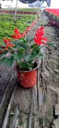 成都一串红基地郫都区名川园艺场供应草花一串红