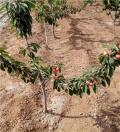 2年的早紅寶石櫻桃苗、早紅寶石櫻桃苗培育基地