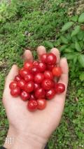 新品種中熟櫻桃苗種植基地 中熟櫻桃苗種植基地