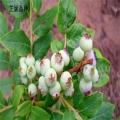 北京市尋找藍莓苗供應廠家、山東布里吉塔藍莓樹苗價錢