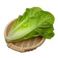 散葉羅馬生菜新鮮果蔬綠色蔬菜沙拉火鍋西餐食材批發