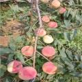 早油蟠桃樹苗哪里有賣、早油蟠桃樹苗多少錢一棵
