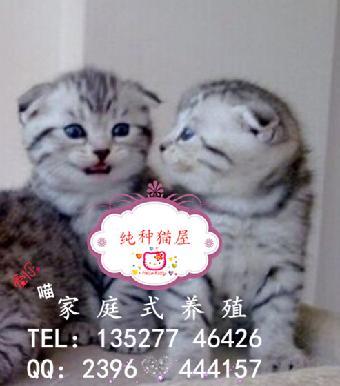 广州菲儿猫舍出售乖巧活泼可爱的苏格兰小折耳猫