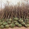 山东日本甜脆柿子树苗、山东日本甜脆柿子树苗价格多少