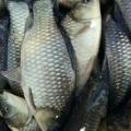 养殖场供应各种放生鱼苗,放生泥鳅,放生鲫鱼