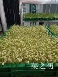 沒有大棚的話,該怎樣生產芽苗菜呢?