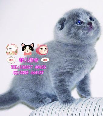 胖嘟嘟英短蓝猫折耳猫 和高贵漂亮的高地金吉拉猫咪等