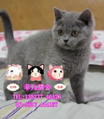 广州菲儿猫舍出售的纯种可爱英短蓝猫蓝猫多少钱一只