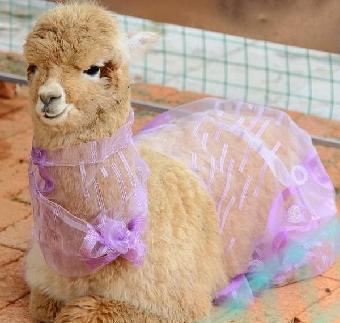 青岛羊驼出租,马戏团演出.