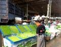 香椿苗加盟費-香椿苗種植培訓-香椿苗芽苗菜加盟