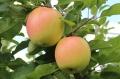1公分寒富蘋果苗2年苗直銷