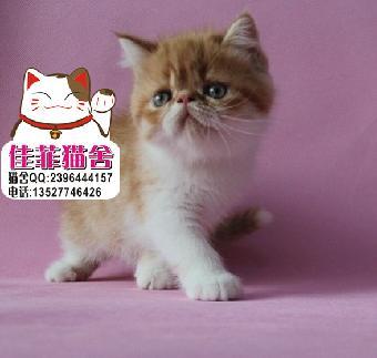 出售纯种加菲猫眼鼻一线 超萌超可爱 包子脸胖嘟嘟