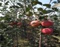 5公分蘋果苗基地