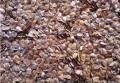 杉树种子发芽率多少-速生杉树种子价格多少钱一斤
