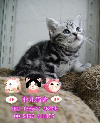 养宠物猫咪美国短毛虎斑猫